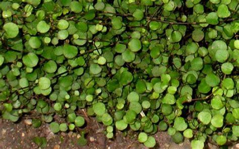 muehlenbeckia axillaris nana  leaf creeping wire