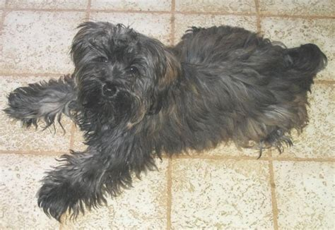 yorkie poodle lifespan caniche crois 233 avec bichon ou labrador