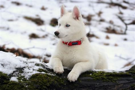 white siberian husky puppies the gallery for gt white puppies pictures