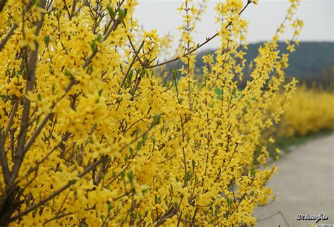 sprout home plant of the week beautiful forsythia plants and their medicinal properties photos