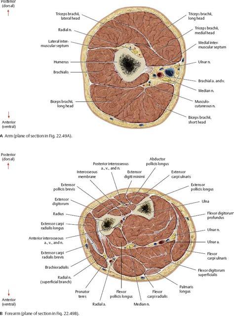 transverse sections neurovasculature atlas of anatomy