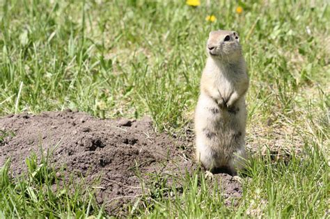 how to get rid of gophers in your backyard how to get rid of gophers nature s defensenature s defense