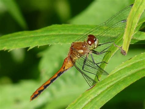 wiseacre gardens 187 blog archive 187 meadowhawk dragonfly