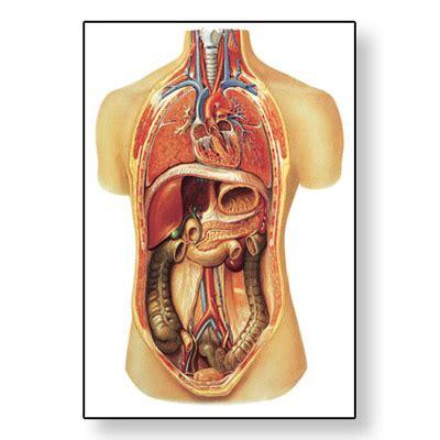 organi interni organi interni 4006517 v2006u sistema