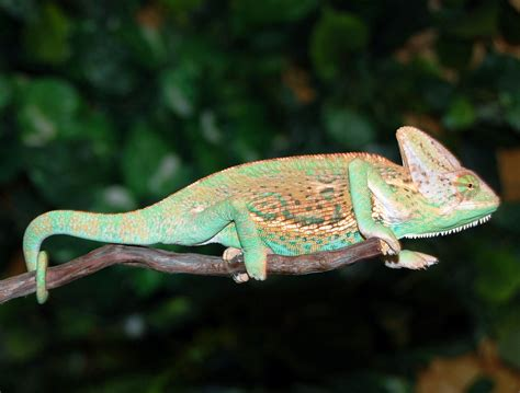 sub adult orange veiled chameleons for sale buy sub adult veiled chameleons fl chams