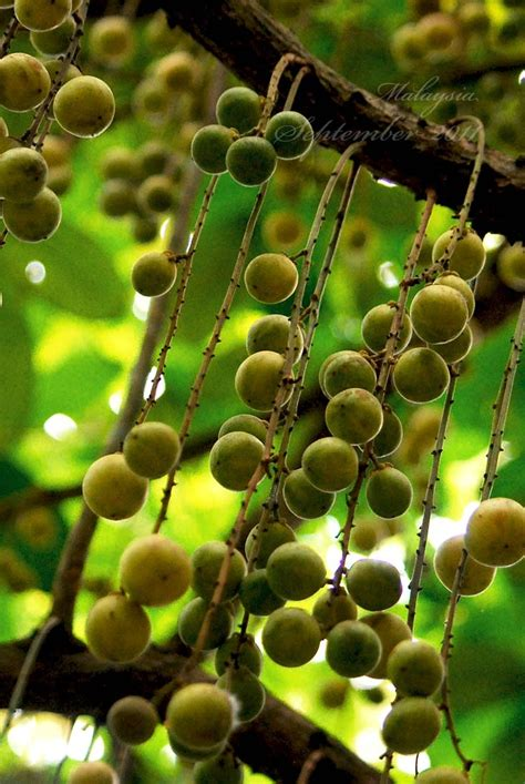Buah Rambai 99 best images about tropical garden on bali garden gardens and guava juice