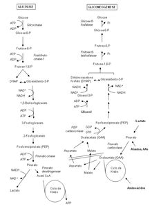 Glicólise – Wikipédia, a enciclopédia livre