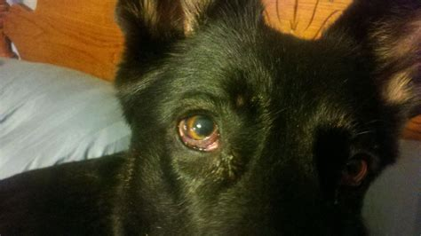 puppy eye boogers eye boogers health issues germanshepherdhome net