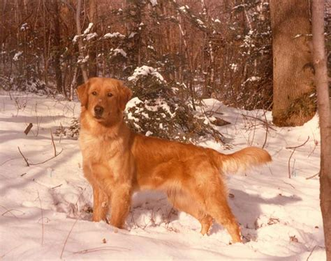 origin of golden retriever dogs golden retriever history temperament american kennel club