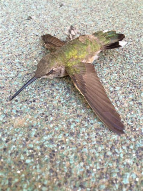 hummingbird magic cayelin castell
