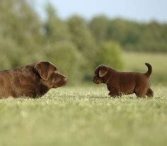 can you give a chocolate sweet chocolate labrador puppies can give you a tooth ache itsalabthing