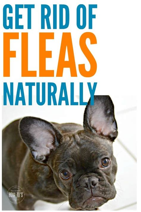 rid  fleas naturally   pet    home