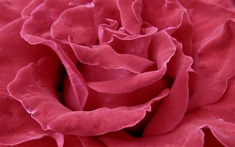 imagenes de flores o rosas fonditos rosa flores rosas plantas