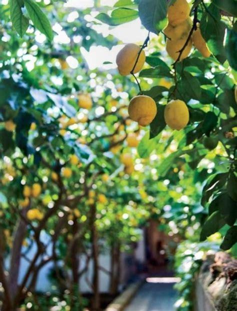 lemon tree garden fresh fruit