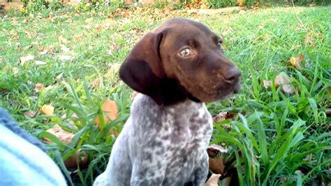 german shorthaired pointer puppies va german shorthaired pointer puppy being