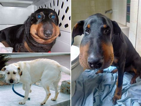 dogs who ate bees poor dogs that lost battles with bees