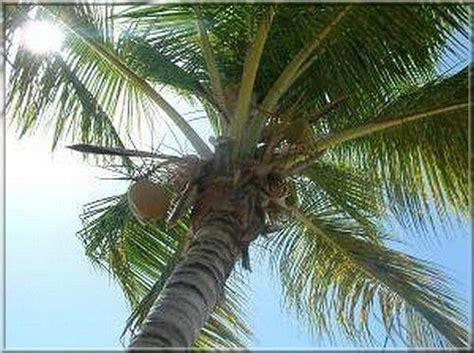 Le Palmier le palmier ou trouve t on des palmiers