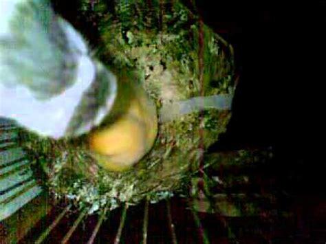 Tempat Pakan Burung Gantung cara kenari membuat sarang doovi