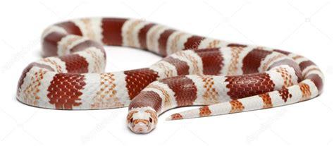 Hn Milk tangerine honduran milk snake lropeltis triangulum hondurensis in front of white