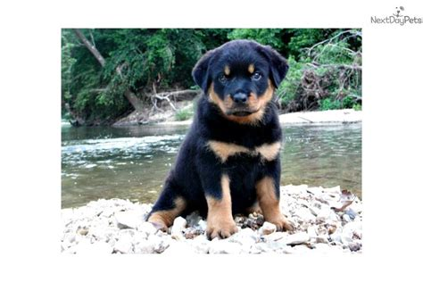 rottweiler puppies price range dogs and puppies for sale and adoption oodle marketplace