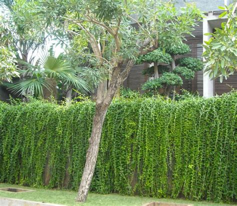 Pagar Plastik Untuk Tanaman Rambat pilihan tanaman rambat untuk mempercantik tilan rumah