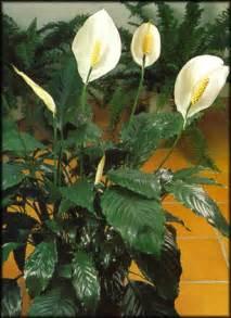 spathiphyllum faux arum fleur de lune culture soins et