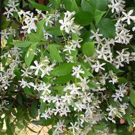 fiori gelsomino fiore di gelsomino fare di una mosca