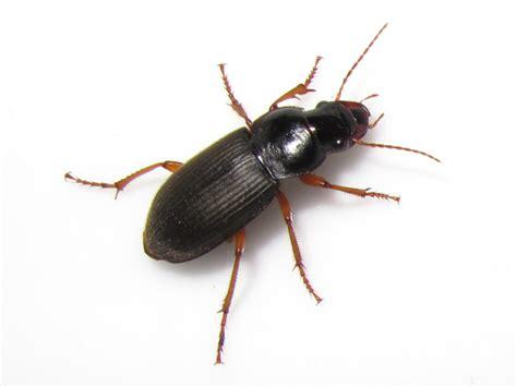 house beetles beetles at the beach