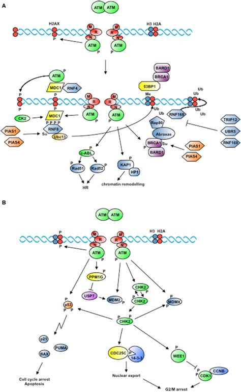 frontiers it takes two to tango ubiquitin and sumo in