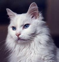 fotos de gatos gatos angora gemelos jpg pictures to pin on pinterest angora turco razas de gatos en venezuela