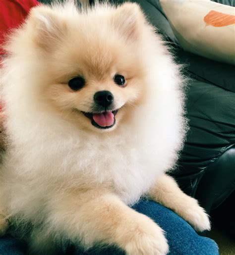 baby pomeranian puppies happy pomeranian puppy mochi pomeranian pomeranians and animal