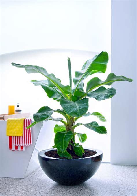 houseplant   month banana tree flowerona