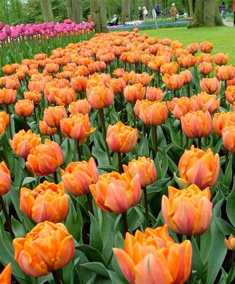tulip orange princess peony flowering tulips tulips