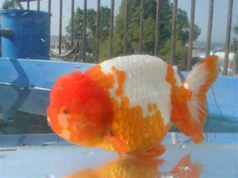 Bibit Ikan Nila Cikarang ikan koki fancy goldfish home