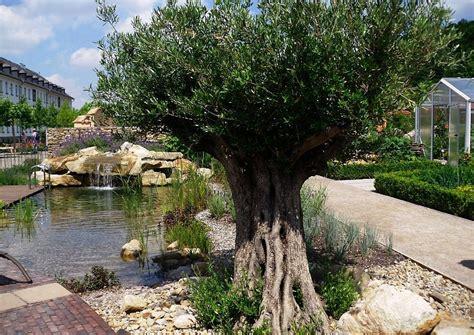 olivenbaum garten schwimmteich und wohngarten im mediterranen flair