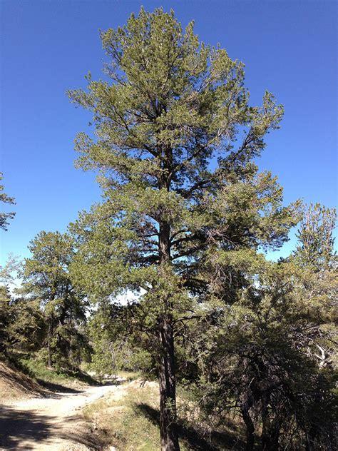 The Pine Tree pinus flexilis