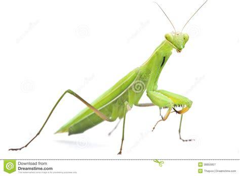 imagenes de saltamontes verdes saltamontes en el fondo blanco foto de archivo imagen