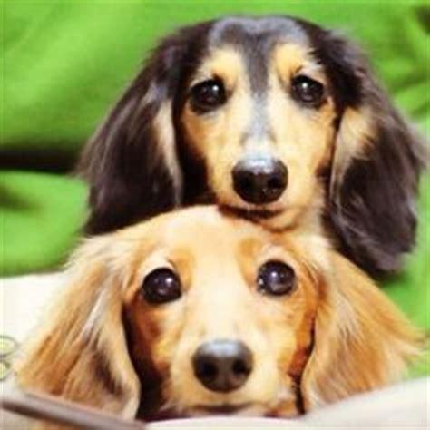 chiweenie yorkie mix puppies chiweenie yorkie mix puppies search animals dachshund