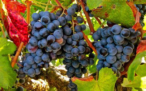 imagenes uva garnacha uvas tintas archivos bodegas 193 lvarez pi 241 eiro