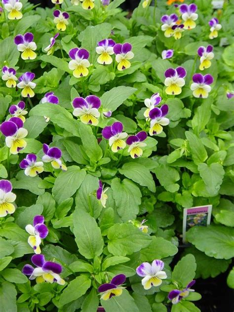 colorful shade plants shade loving colorful flowers viola plants and