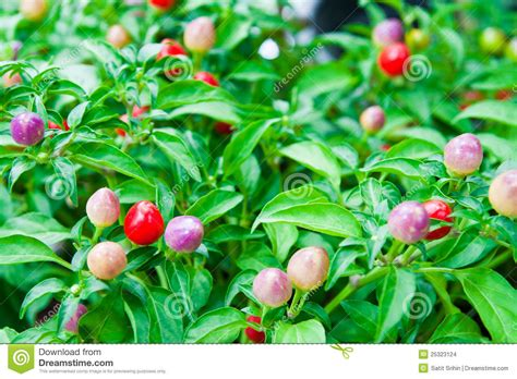 Chili Garden by Colorful Chili On The Plant Stock Photo Image 25323124