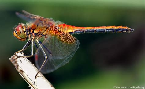 interesting facts about dragonflies just fun facts
