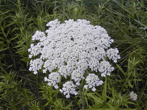 Flat White Flower s lace carrot plant lacy flat topped clusters of tiny white