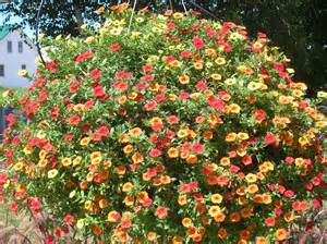 how to grow million bells gardening million bells grow