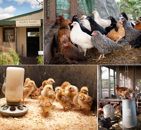 Backyard Chickens Minneapolis The Abcs Of Raising Chickens The Heavy Tablethe