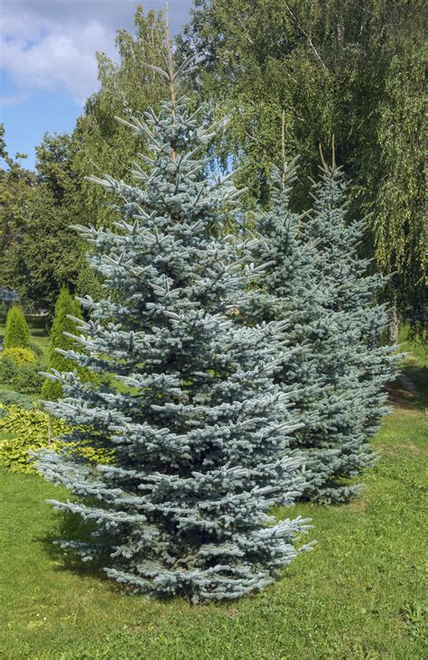 cold hardy evergreen trees growing evergreen trees in zone 4