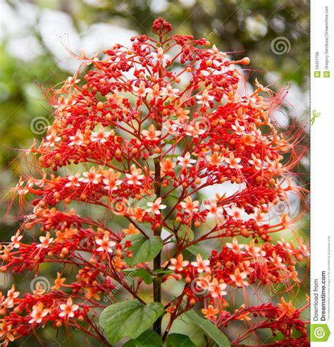the botanical name of a grrmam christmas tree tree like flowers stock image image 59437709