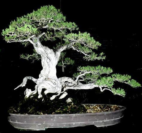 Jual Bibit Bonsai Santigi jual bonsai santigi jumbo di lapak adi bonsai adi bonsai