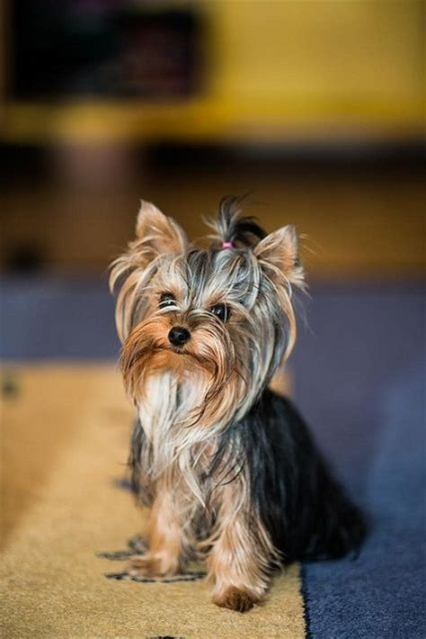 why do yorkies all the time yorkie yorkies pools photos and i had