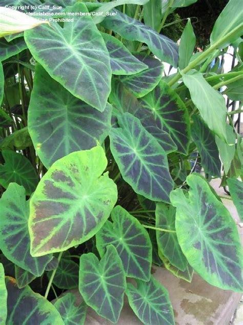taro leaves plant care plantfiles pictures colocasia elephant ear imperial taro colocasia esculenta var illustris